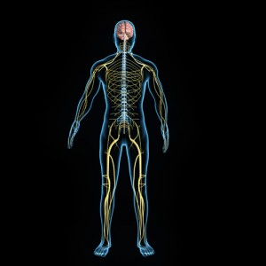 Outline of body's nervous system